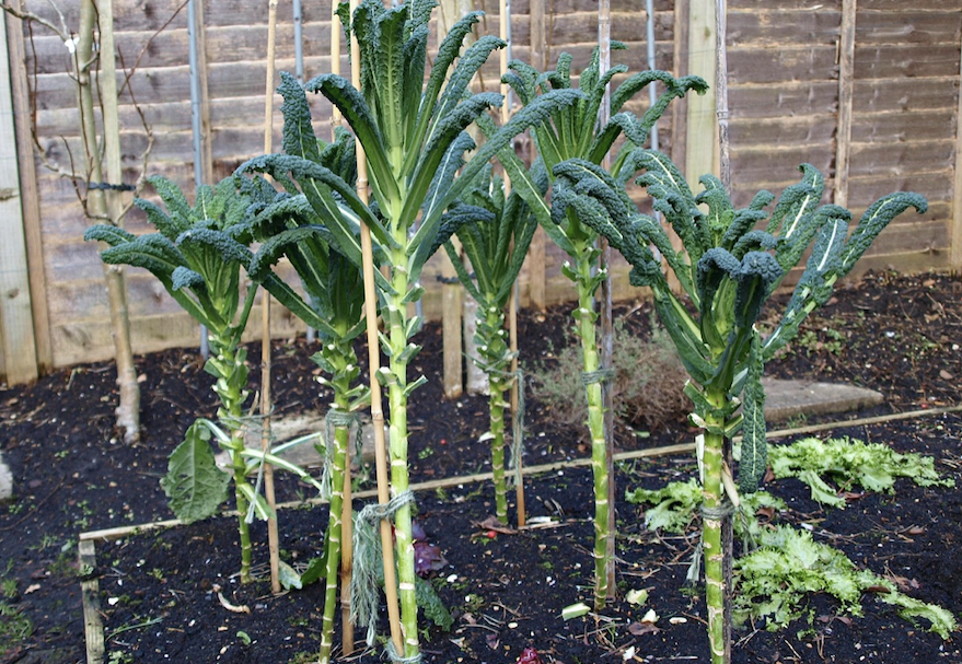 How to grow your own kale at home in pots or in a garden